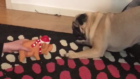 Pug gets attacked by superscary christmaspig!
