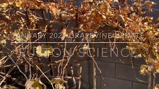 Backyard Vineyard January 2021 Update