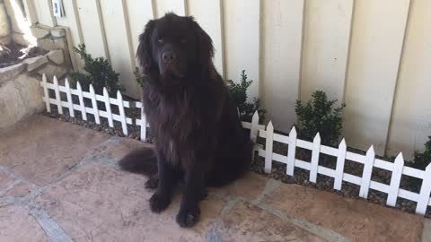Big Dog Breaks Gate, Acts Like Nothing Happened