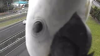 Curious Cockatoo blocks traffic camera in Queensland, Australia - Video