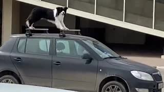 Agile Dog Stands Atop of Car