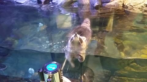 Is This Racoon Preparing For A Triathlon?!!!