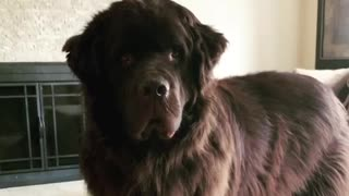 Sweetest Newfoundland ever demands your full attention