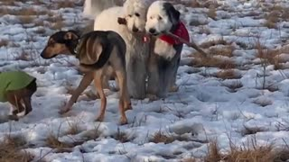 White dogs both carrying same stick outside