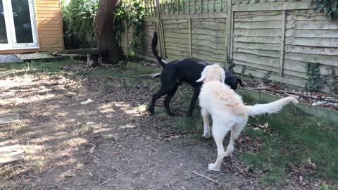 Older Dog Teaches Puppy to Play Catch