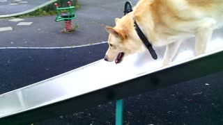 German shepherd plays on a park slide - Video