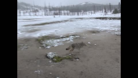 Close Encounter with a Coyote at Yellowstone