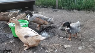Fun on the farm - Ducks