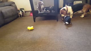basset playing with his pup for the first time.
