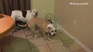 Small brown dog grows at bigger dogs  - Video