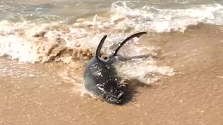 Shark Spotted on Manly Beach - Video