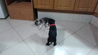 Black dog play fighting with gray cat in kitchen