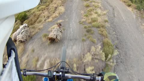 Mountain biker nearly lands on wandering sheep