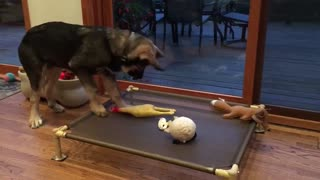 Puppy plays with Rubber chicken
