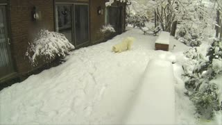 Snow WOOF Angel - Husky Making Snow Angels - Video
