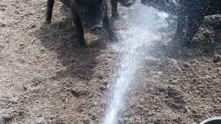 Pigs Dancing and Playing with Water
