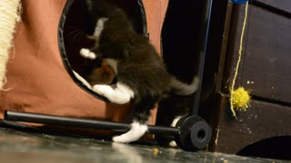 Kittens Playing  - Video