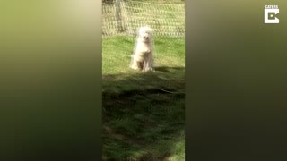 Dog Mysteriously Points At Chicken