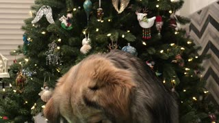 Dog Plays Hide the Hotdog Christmas Game