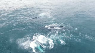 Check Out This Amazing Drone Footage Of Two Massive Whales Roaming Ocean Waters