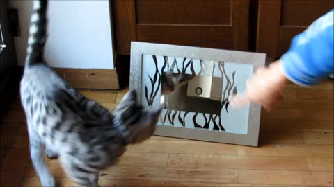 Kittens can't comprehend why noone is behind mirror