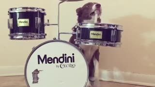 Brown and white dog plays drums
