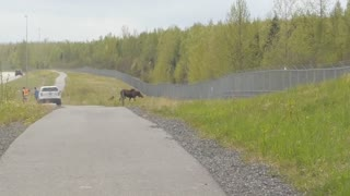 Mum Moose Defends Two Young Calves Against An Unassuming Cyclist - Video