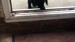 Two small black dogs jump through open door that is a little high - Video