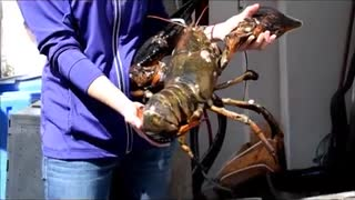 That's a Really Big Lobster - Video