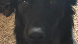 Boomerang video of a black dog smiling  - Video