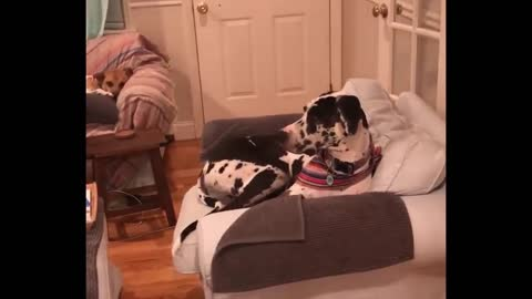 Great Dane watches canine film on TV