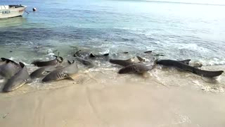 Tawny Sharks Feed on Murray Island