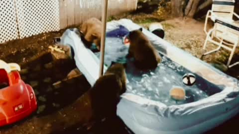bears decided to swim in the pool