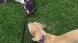 Blonde dog tries to pull brown dog on leash while he's sleeping on grass - Video