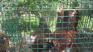 Polish hens and rabbit - Video