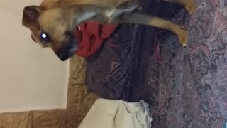 Dog confused by cat sounds from speakers