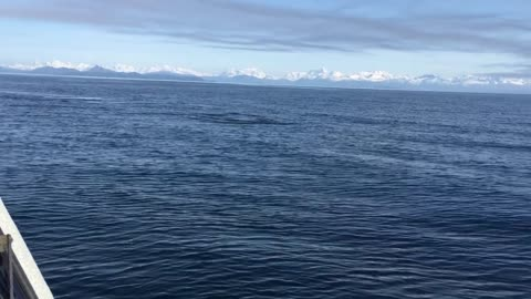 Majestic Orca Whales Swimming