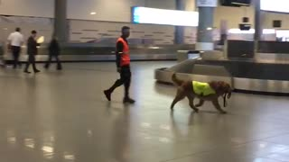 Airport working dog super excited to start the work day