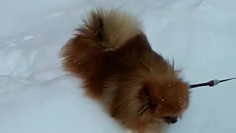 Cute Spitz in the harsh Russian snow