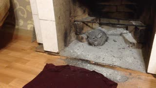 Chinchilla takes dust bath in fireplace's ashes