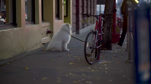 White Parked Dog Next To Owner Bicycle