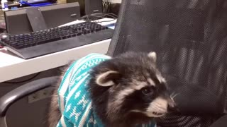 Raccoon Catches Grapes - Video