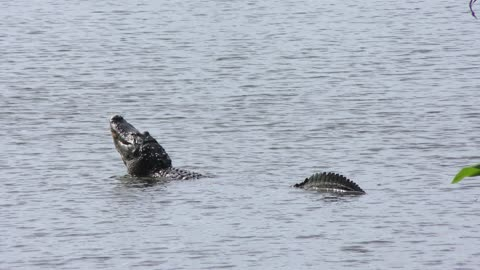 Large American alligator mating call