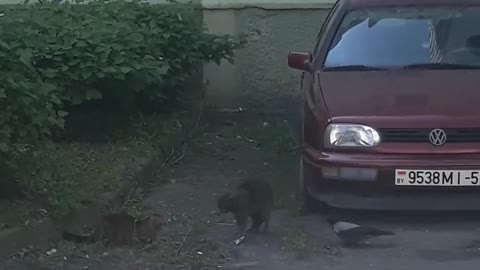 Courageous Crow Tries to Stop Feud Between Two Cats