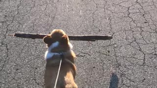 Corgi carries large branch during walk