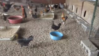 hens chicken  - Video