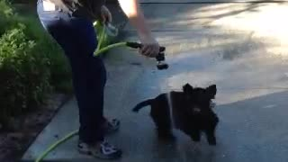 Scottish Terrier chases water hose - Video