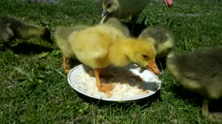 Hear and watch a great video of a group of ducklings eating