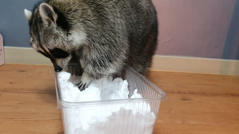 Raccoon plays snow in the house because it is cold outside.