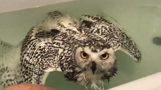 Snowy owl confused - Video